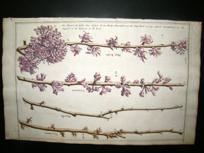 Langley 1729 Folio H/Col Botanical Print. May Duke, Carnation Morello Branches 5 | Albion Prints